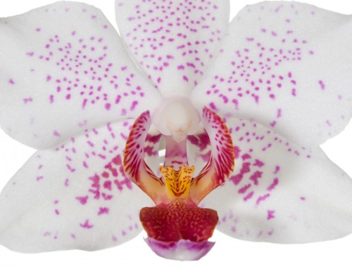 Orchid Image 9