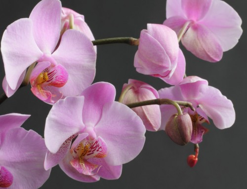 Orchid Image 8
