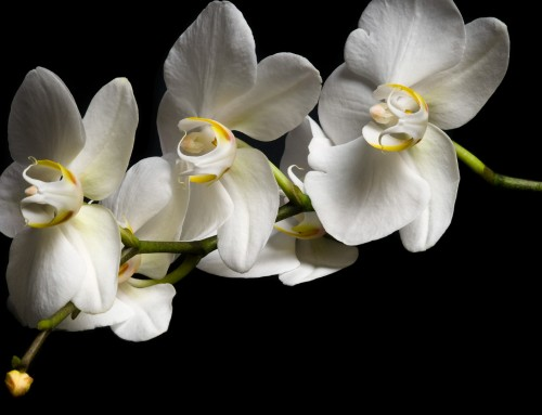 Orchid Image 7